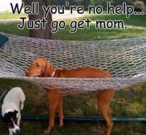 A brown dog stuck in a hammock