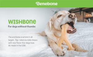 A White labrador laying on a bed eating a wishbone