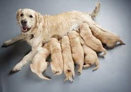 Labrador with her puppies