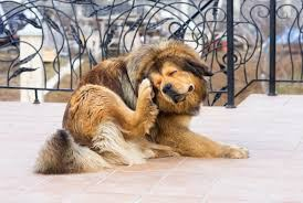 Big Brown dog scratching