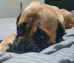 Sad looking dog face on a bed