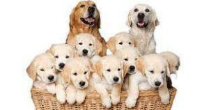 golden-retreiver-puppies-in-a-basket-with-mum-and-dad-in-the-background