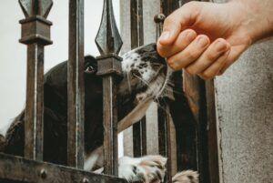 Dog behind black steel gate sniffing
